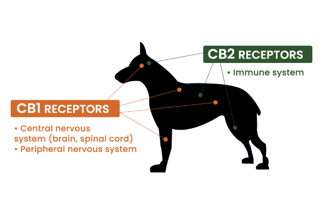 CBD Oil for Dogs: What You Should Know 1