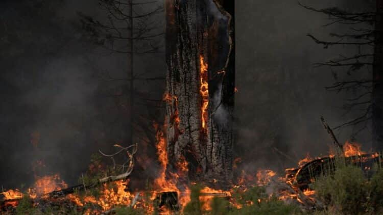 Extreme heat roasts Christmas tree crops in Oregon 1