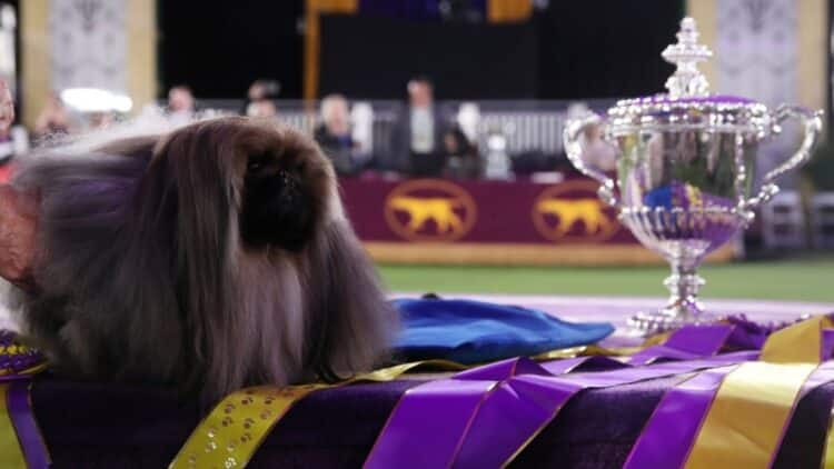 Wasabi the Pekingese wins Westminster Dog Show in New York 1